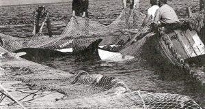 captura de orcas 1