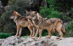 manada-de-lobos-ibericos